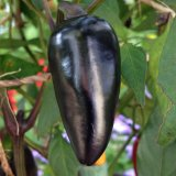 Black Hungarian Pepper Seeds