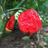 Carolina Reaper Chile Seeds (Red)
