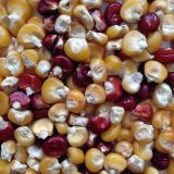 Roy Calis Corn Seeds