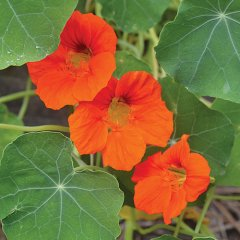 Empress of India Nasturtium Flower