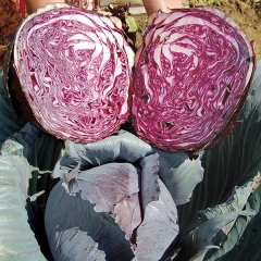 Buscaro F1 Cabbage Seeds