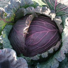 Deadon F1 Cabbage Seeds