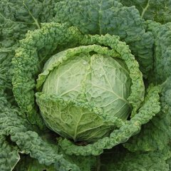 Famosa F1 Cabbage Seeds