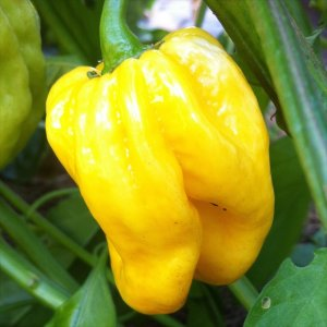 Trinidad Orange Pepper Seeds