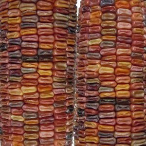 Earth Tones Dent Corn Seeds